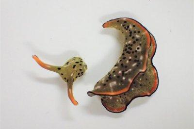 Some sea slugs sever their own heads, grow whole new bodies