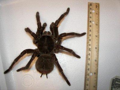 Harvard scientist startled by giant bird-eating spider on rainforest walk