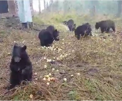 Bear cubs feast on donated apples
