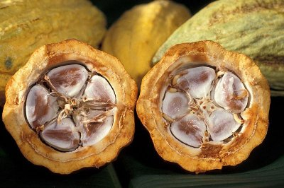 Naturally occurring compounds in cocoa may reverse age-related memory loss