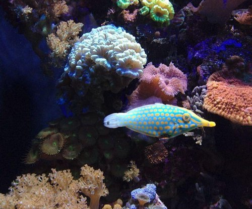 Orange spotted filefish takes on the smell of its food