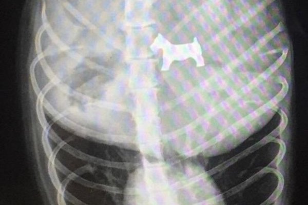 Look: Veterinarian's X-ray shows Monopoly dog piece inside ...