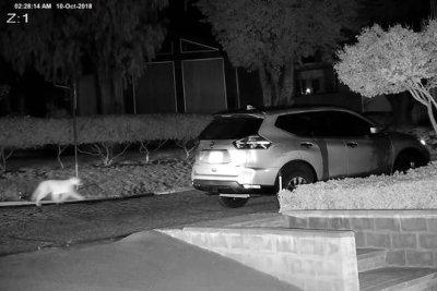 Watch:-Cougar-wanders-into-California-neighborhood