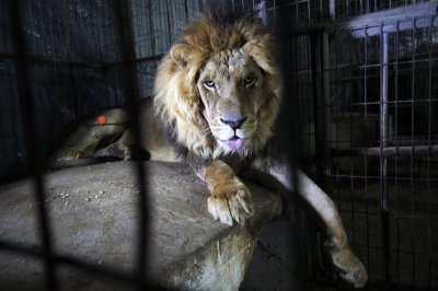 Zoo: 911 call reporting escaped lion was a hoax