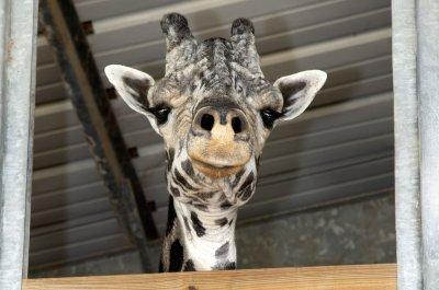 Australia Zoo's 18-foot, 8-inch giraffe declared world's tallest