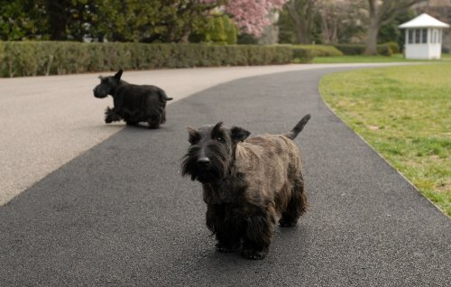 Laura Bush's dog, Miss Beazley, dies