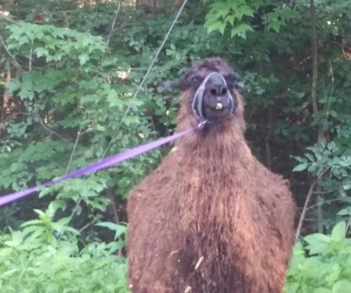 Missing Connecticut llama reunited with owners