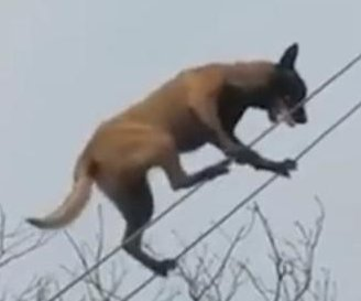 Talented dog shows off tightrope walking skills