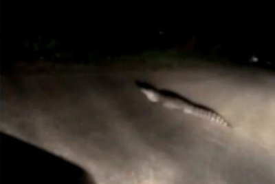 Watch:-Alligator-found-in-middle-of-Kansas-road