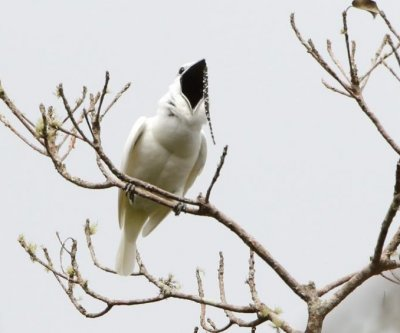 Amazon's white bellbirds smash record for loudest bird call