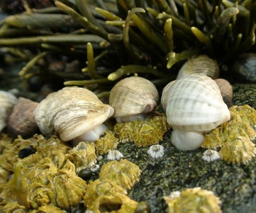 Climate change driving mussel, barnacle, snail declines along Maine coast