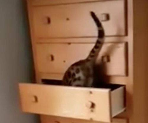 Clever cat shuts itself inside drawer