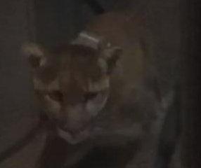 Mountain lion attempts to break through sliding glass door