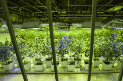Feds approve marijuana imports from Canada for UC San Diego medical research