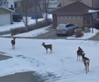 Deer taking over Calgary neighborhood during lockdown