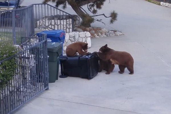 Watch Hungry Bear Family Foiled By Bear Proof Trash Can