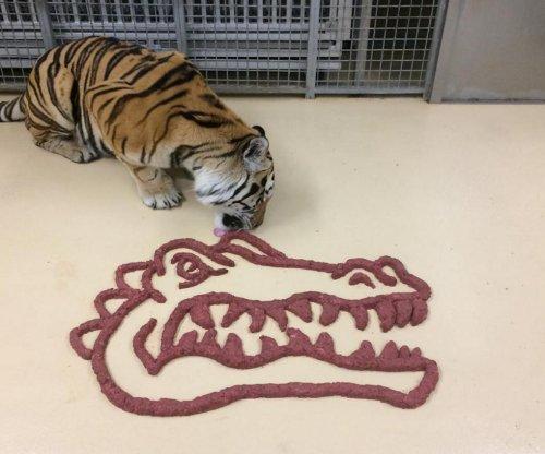 LSU mascot hunting and eating gators before matchup with Florida