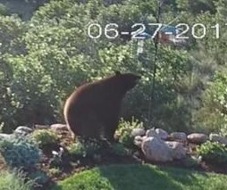 Bear climbs backyard rock wall, raids bird feeder