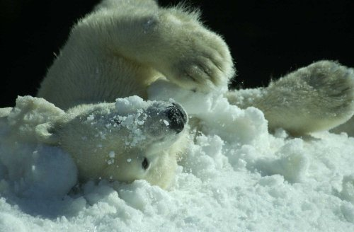 Alaska eyeing major polar bear study