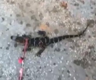 Florida wildlife officials probing 'alligator man' videos