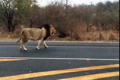 Wandering lion tranquilized on South African highway
