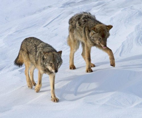 Three Michigan wolves are the last of their kind
