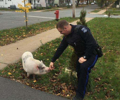 Fugitive pig 'Kevin Bacon' tracked down by Canadian police