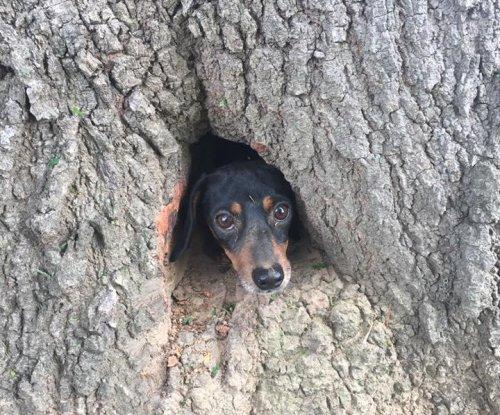 Kentucky authorities rescue dachshund stuck in tree stump