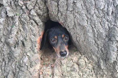 Kentucky authorities rescue dachshund stuck in tree stump