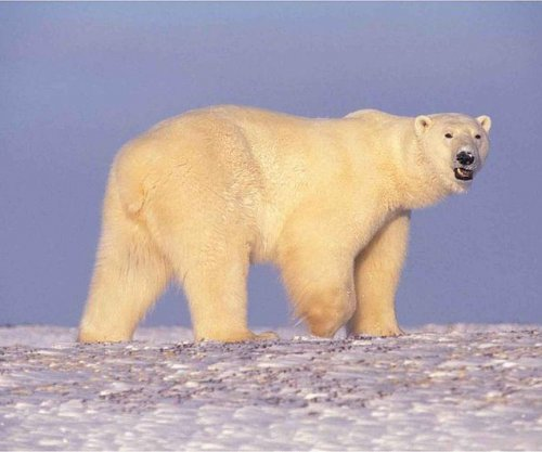 Polar bear populations are slowly shifting northward
