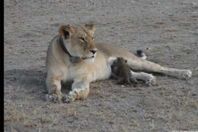 Lioness photographed in Tanzania nursing leopard cub in the wild