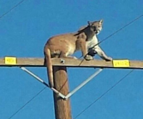 Mountain lion climbs 35-foot utility pole near Cougar Buttes