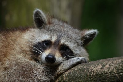 Hapless raccoon knocks out power for 5,000 in Florida