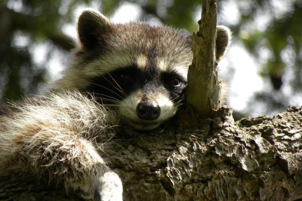University Of Vancouver >> Study: Dog barks instill fear in raccoons, slow ...