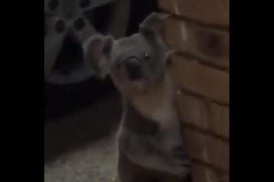 Koala makes late night visit to surprised man's front door