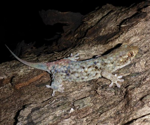 New gecko species boasts giant scales and tear-away skin