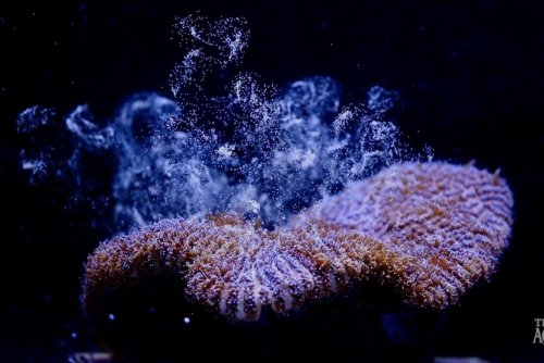 Florida Aquarium reproduces Atlantic coral in lab for first time