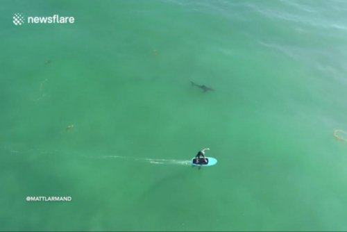 Oblivious electric surfboard riders surrounded by great white sharks
