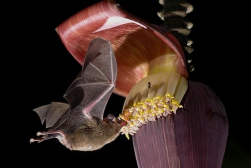 Banana plantations offer bats 'fast food,' but alter gut microbiomes for the worse