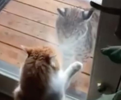 Colorado house cat defends home from curious bobcat
