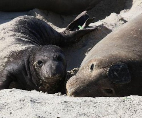 Tagged elephant seal sets swim record, then gives birth