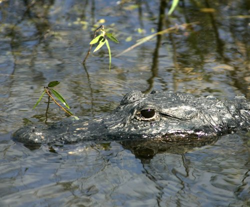 Police: Woman walking dogs may have been ambushed by alligator