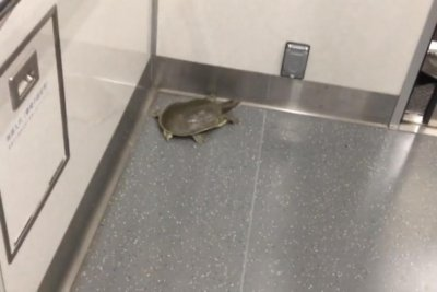 Unaccompanied turtle spotted riding subway train