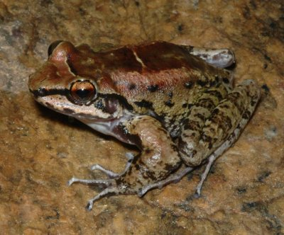 Male frog in Brazil loyal to two females during breeding season