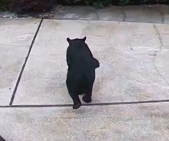 Watch: Bear with three legs steals Diet Coke from Florida garage