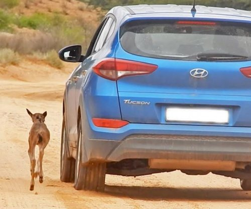 Baby wildebeest confuses car for mother, chases it for miles