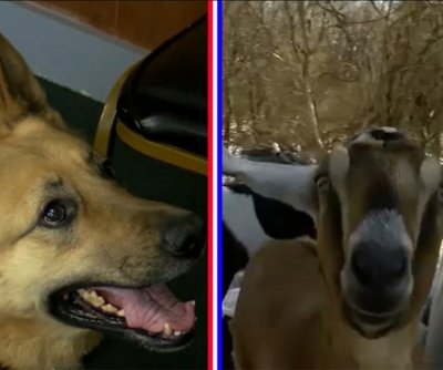 Goat, police dog facing off in race for Vermont town's 'pet mayor'