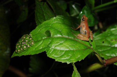 New frog species discovered on remote Ethiopian mountain