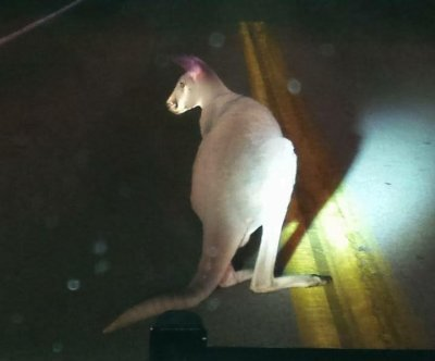 Escaped kangaroo returned to Ohio home