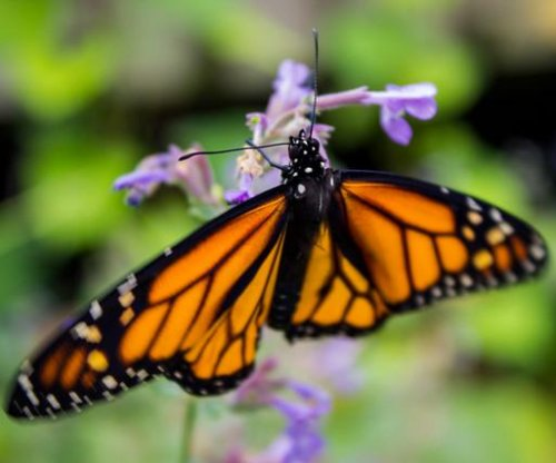 Scientists scramble to learn why monarch butterflies are dying so quickly